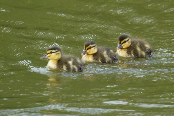 Duckling at Falmer Pond