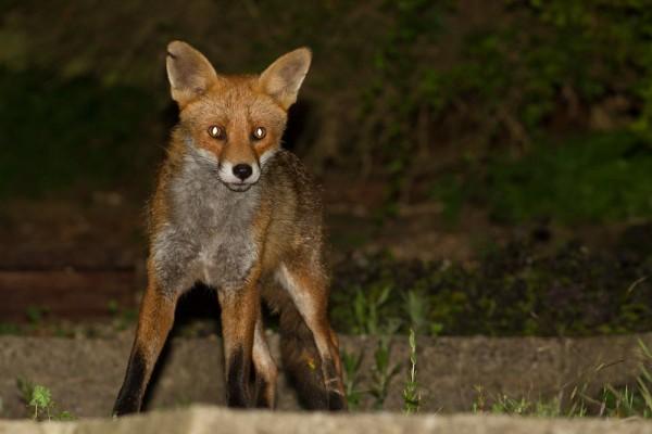 fox (male)