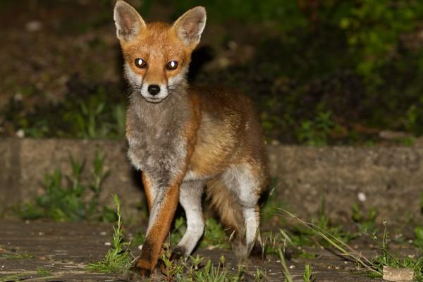Fox (vixen)