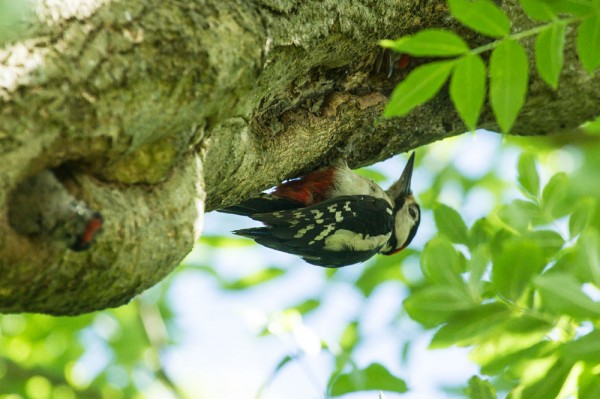 Great spotted woodpecker chicks and adult