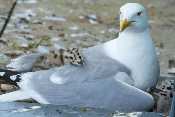 Herring gulls and chicks