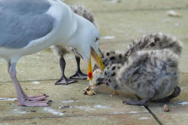 herring gull chicks feeding