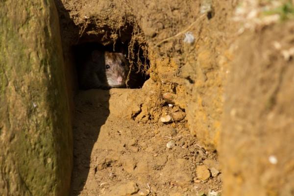 rat in rat run