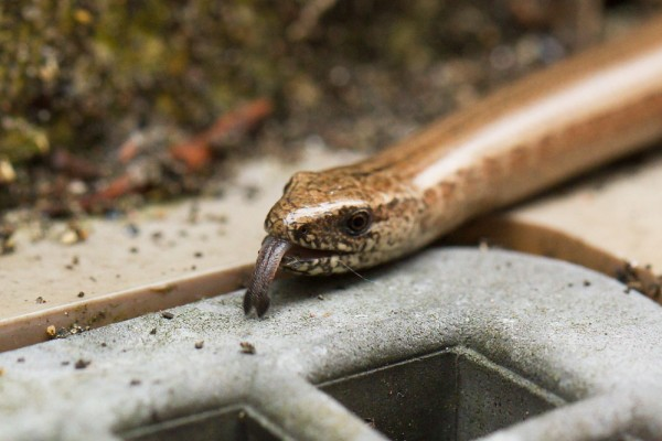 Slow worm with tongue flicking out