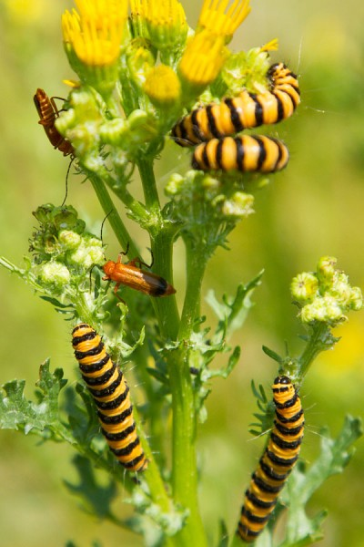 Cinnabar caterpillars on ragwort