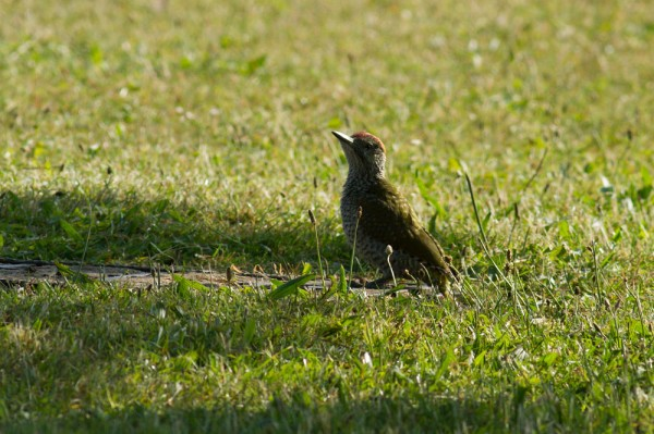 fledgling green woodpecker