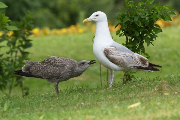 Herring gull chick and juvenile