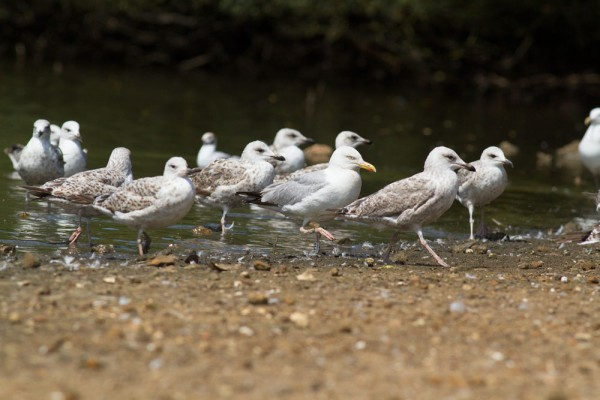 marching herring gulls