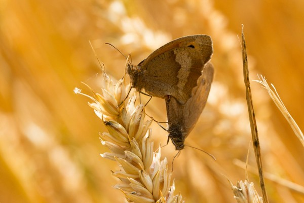 meadow brown butterflies mating