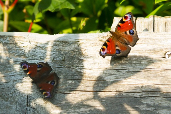 Pair of peacock butterflies on the fence
