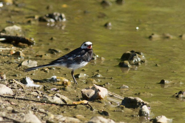adult pied wagtail