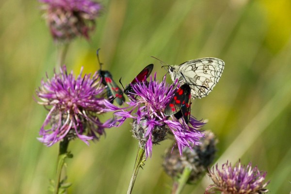 Marbled white butterfly and six-spot burnet moths,