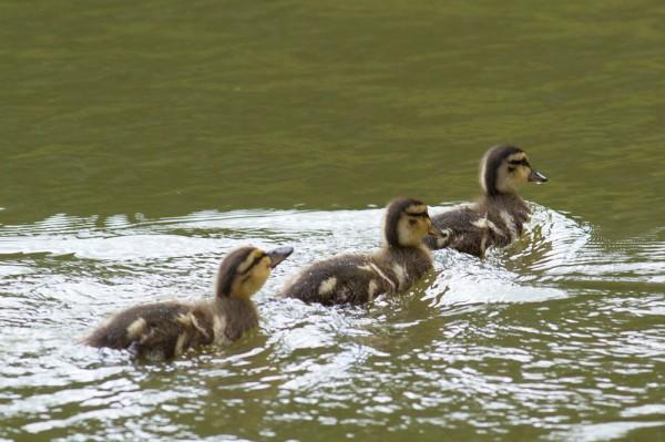ducklingd