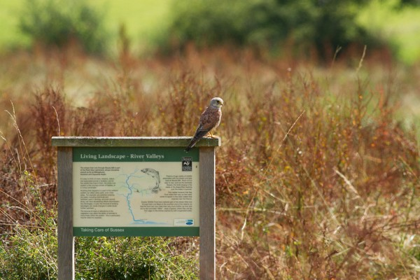 kestrel at Woods Mill