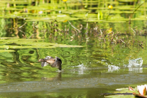 little grebe (dabchick) at Woods Mill