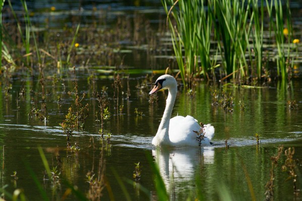 Mute swan at Woods Mill lake