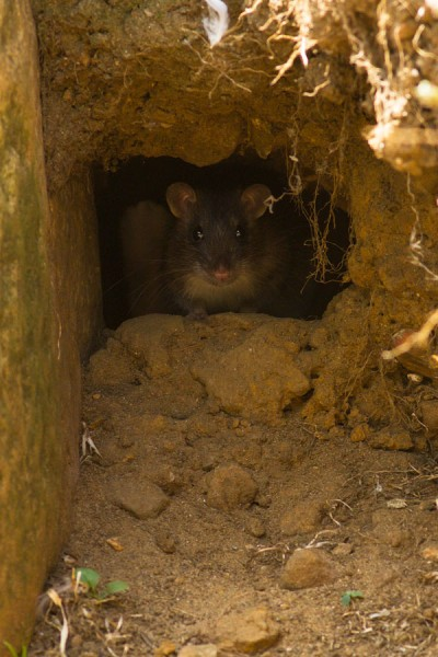 Young brown rat in rat hole.