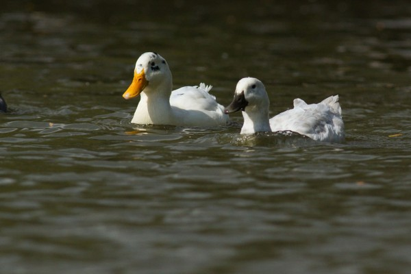 pair of white ducks