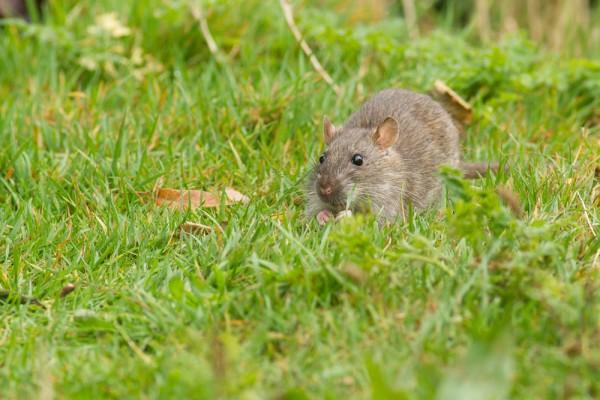 Rat on grass bank at Falmer Pond, East Sussex
