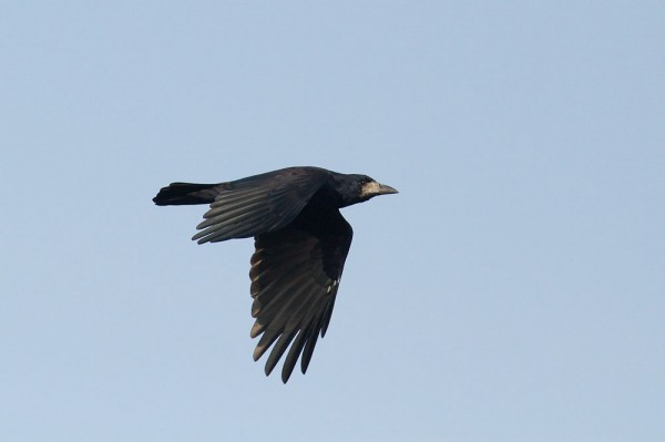 Rook in flight