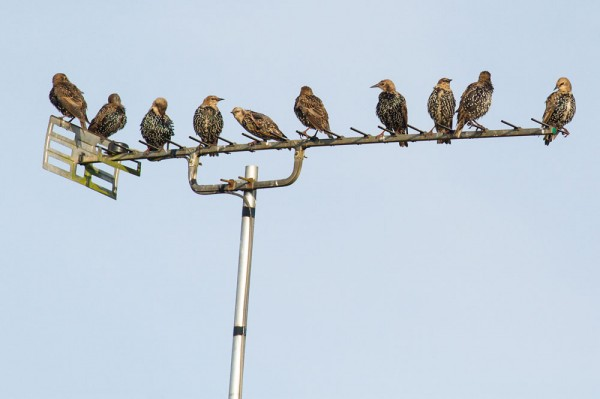 starlings on tv aerial