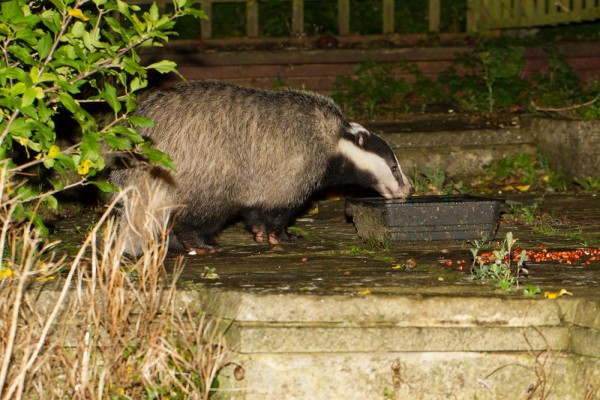 badger drinking