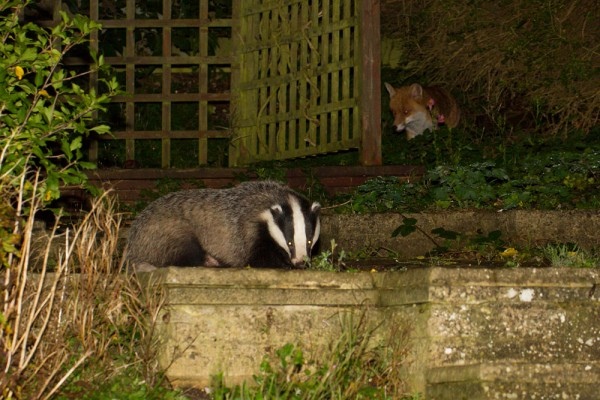 badger and fox