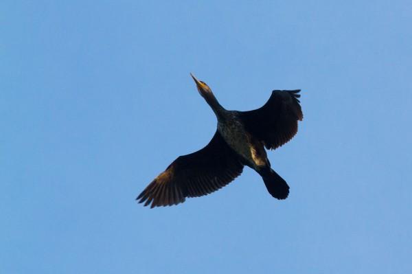 Cormorant over Falmer