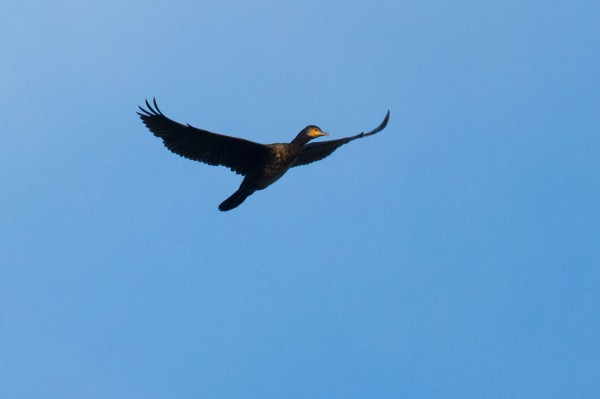 Cormorant over Falmer
