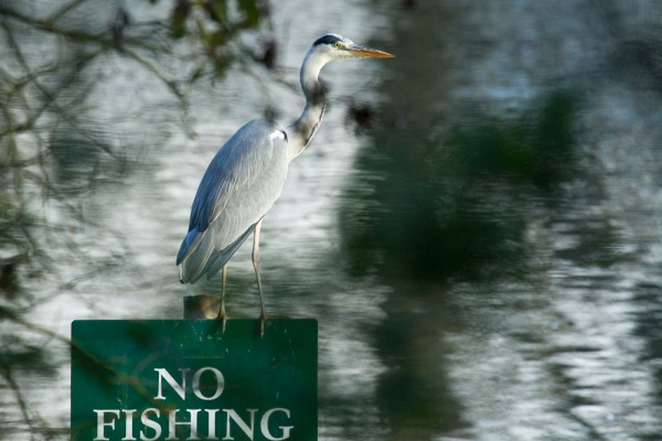 Heron on No Fishing sign