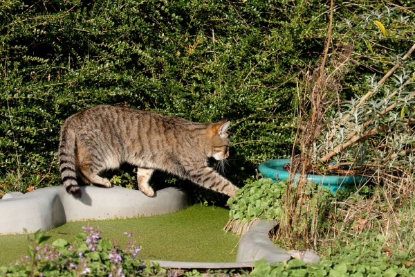 Cat stepping over pond