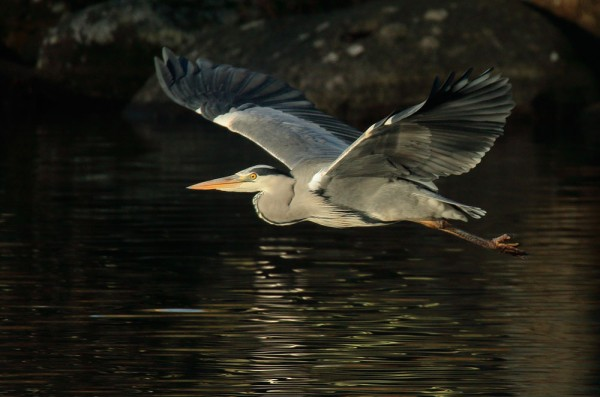 Heron flying low over Falmer Pond