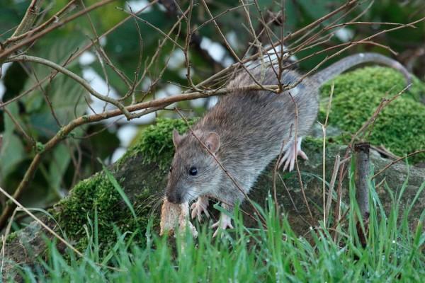 Rat with bread