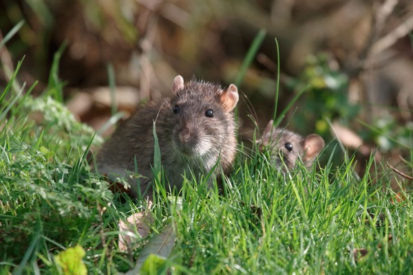 Rat and baby