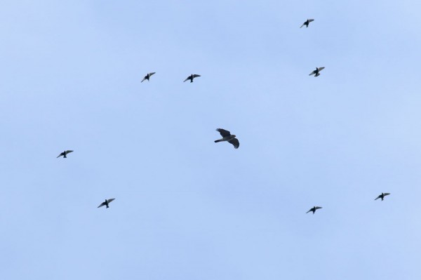 sparrowhawk and starlings