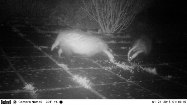 two badgers