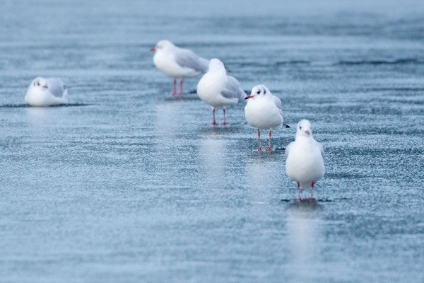 Black-headed gulls on frozen pond