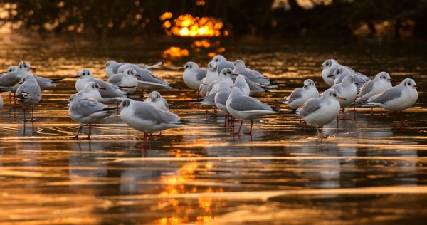 gulls on frozen pond at sunrise