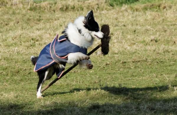 Dog playing with broom