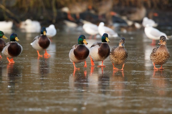 ducks marching on frozen pond