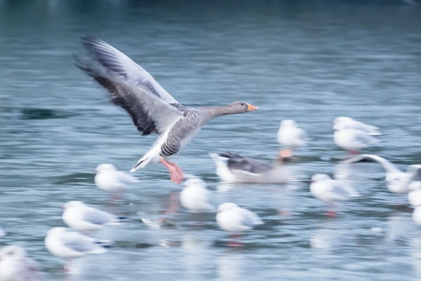 slow pan shot of greylag goose