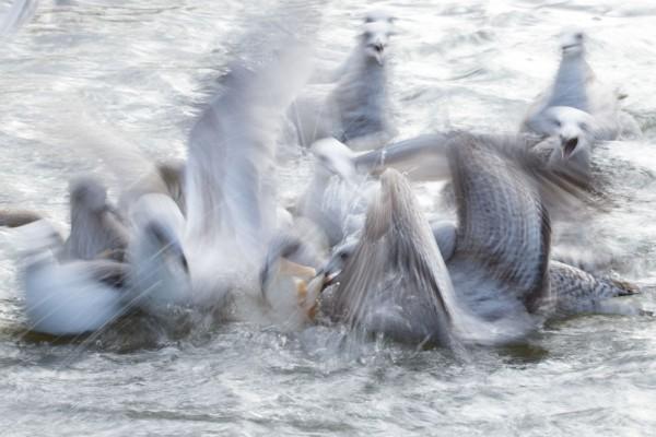 Motion blur gulls at Falmer