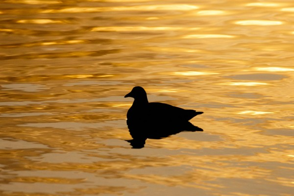 Moorhen silhouette on golden pond