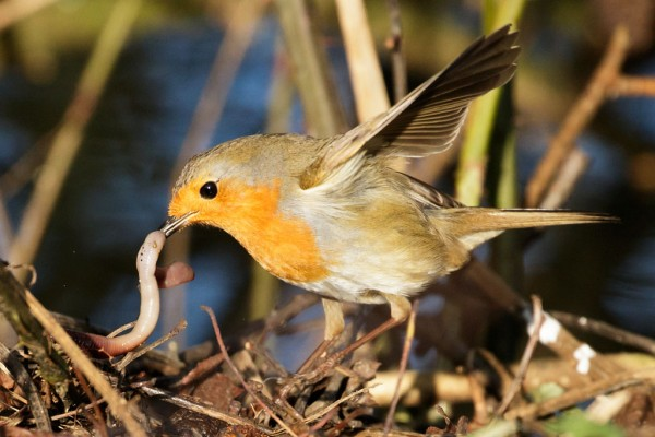 robin catching a worm