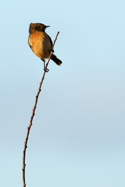 Male stonechat on lookout.