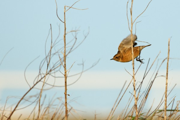 Stonechat flying down from its perch