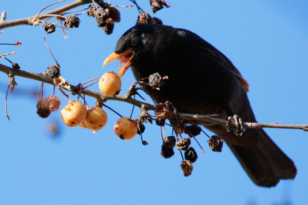 Blackbird (male) eating berries