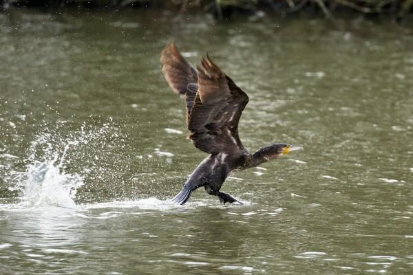 Cormorant running on water