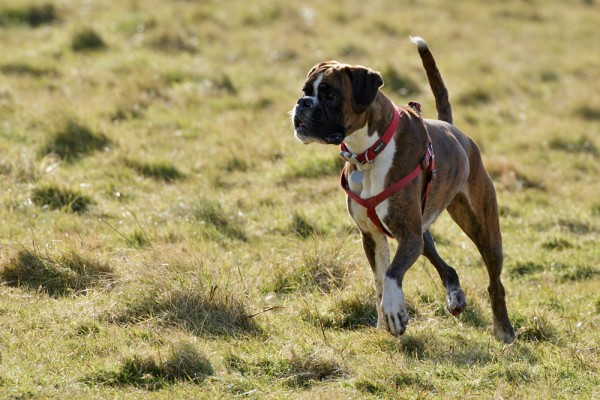 Boxer dog running