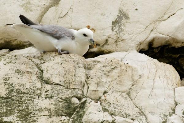 fulmar on cliff